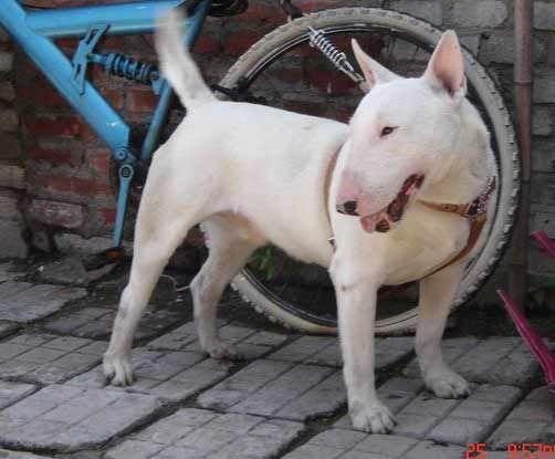 世界上最凶猛的犬 (组图)