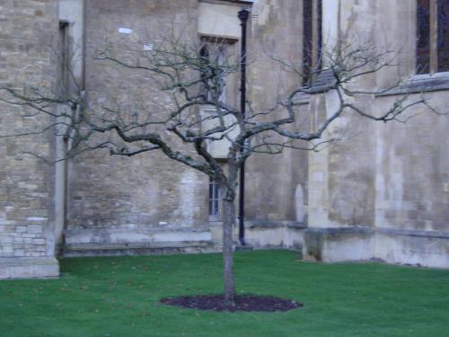 三一学院门前的苹果树