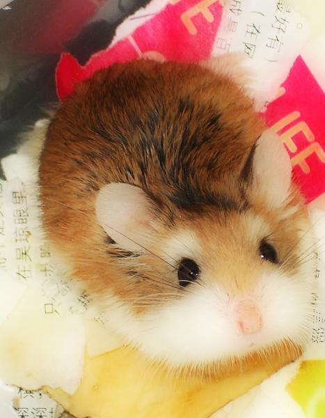 >_  同样是上学期生活在我们宿舍的一只超可爱的宠物鼠…&