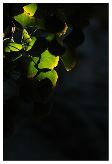 银杏树叶贴画孔雀