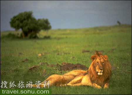 动物兽中之王 非洲狮 -〖图〗