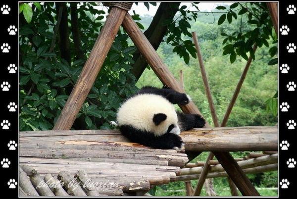 可爱的大熊猫图图```